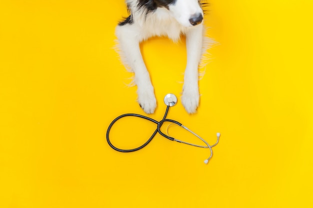 Puppy dog border collie and stethoscope isolated on yellow background. little dog on reception at veterinary doctor in vet clinic. pet health care and animals concept