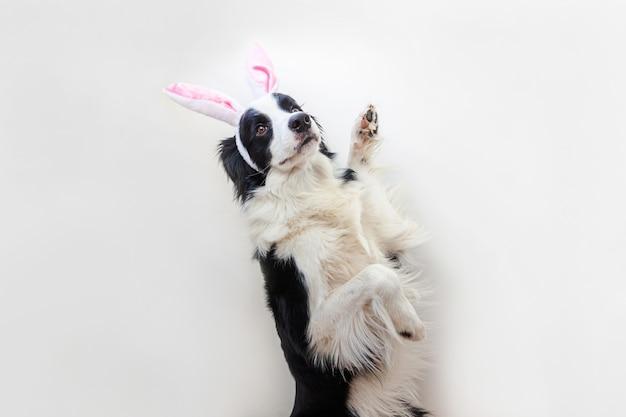 Бордер колли щенок в ушах пасхального кролика, изолированные на белом фоне
