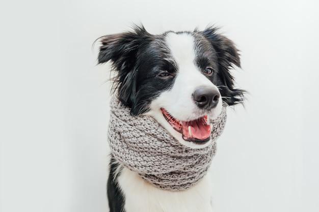 白い背景で隔離の首の周りに暖かい服のスカーフを身に着けている子犬の犬のボーダーコリー