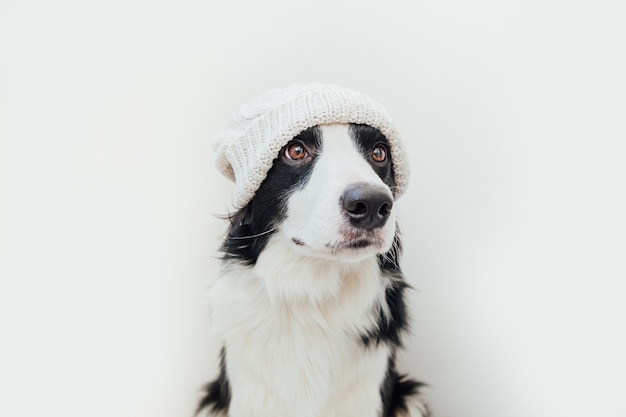 暖かいニットの服を着ている子犬ボーダーコリー白い背景で隔離の白い帽子