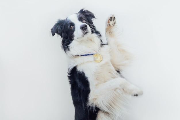 Щенок бордер-колли носить победителя или чемпиона золотой трофей медаль, изолированные на белом фоне. победитель чемпиона смешная собака. победа за первое место конкурса. концепция победы или успеха.