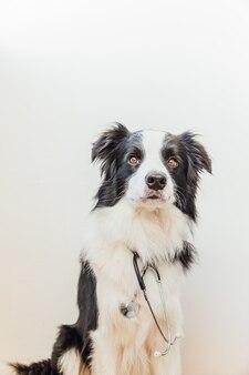 흰색 배경에 고립 된 청진 강아지 개 보더 콜 리