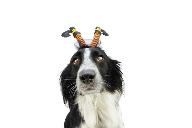 Puppy dog celebrating halloween with a witch diadem. isolated on white background