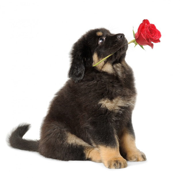 Puppy dog holding red rose in its mouth, looking up, isolated on white