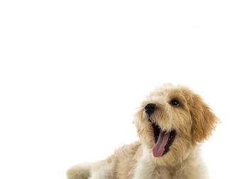 子犬の犬は白い背景で隔離します