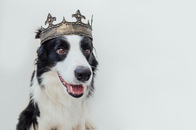 Щенок с забавным лицом бордер-колли в королевской короне, изолированном на белом