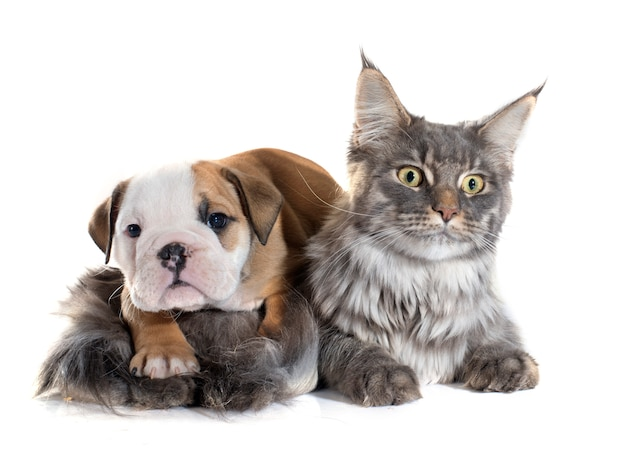 Puppy english bulldog and cat