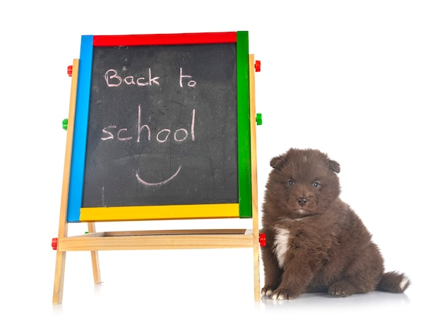 Puppy finnish lapphund and board with back to school text