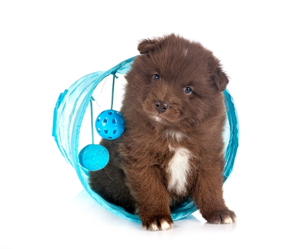Puppy finnish lapphund isolated on white