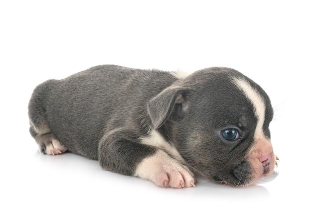 Французский бульдог щенок на белом фоне