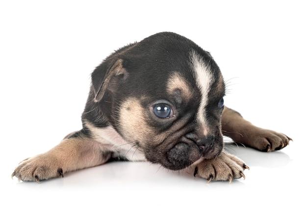 白で隔離の子犬フレンチブルドッグ
