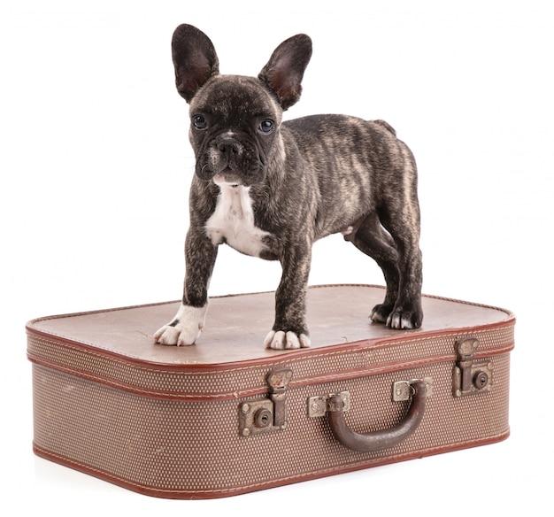 スーツケースの子犬フレンチブルドッグ