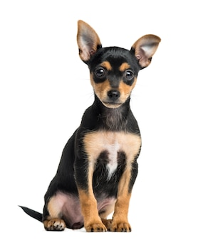 Puppy german pinscher sitting, isolated on white