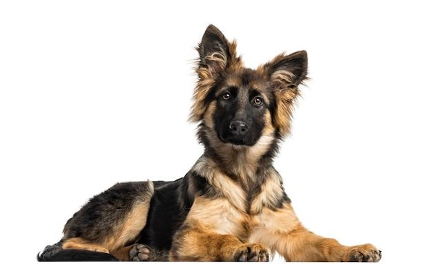 横たわっている子犬ジャーマンシェパード犬、白で隔離