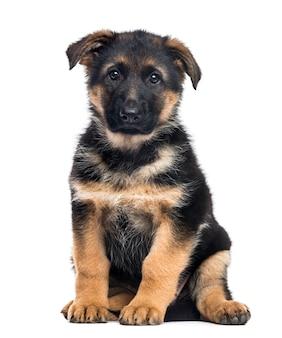 座っている子犬ジャーマンシェパード犬、白で隔離