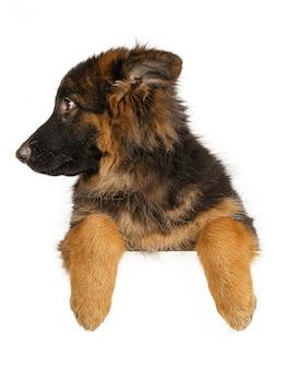 고립 된 배너를 들고 강아지 셰퍼드