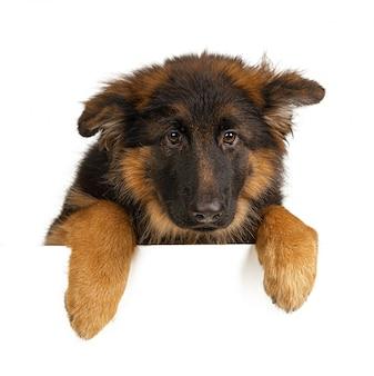 강아지를 들고 강아지 셰퍼드
