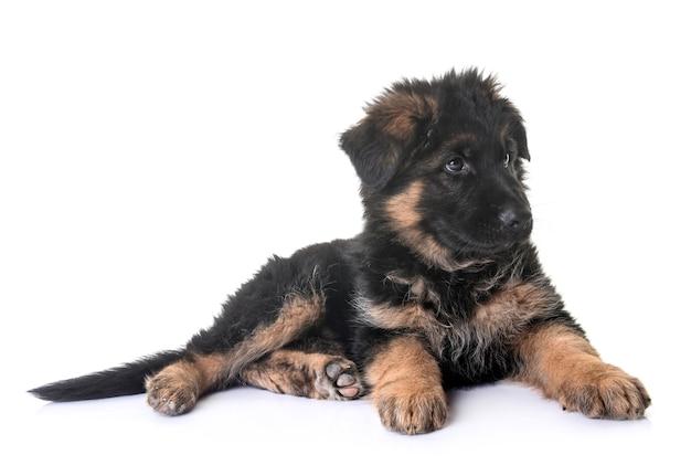 白の前に子犬のジャーマンシェパード