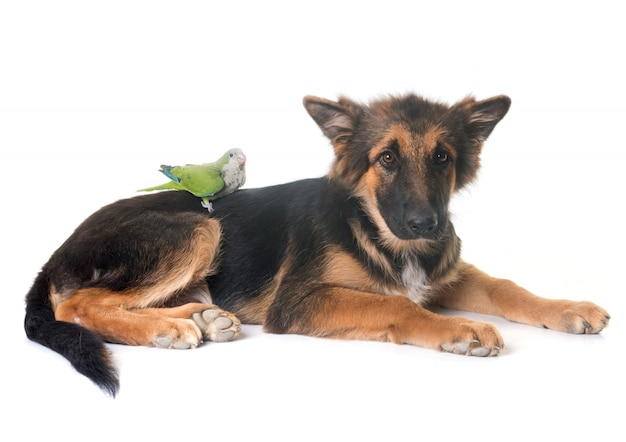 Puppy german shepherd and parakeet