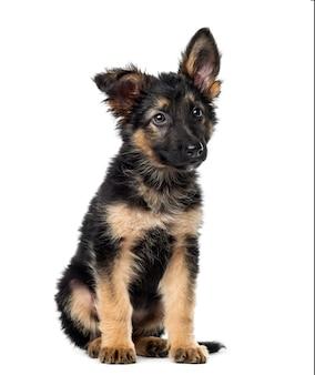座っている子犬ジャーマンシェパード、白で隔離