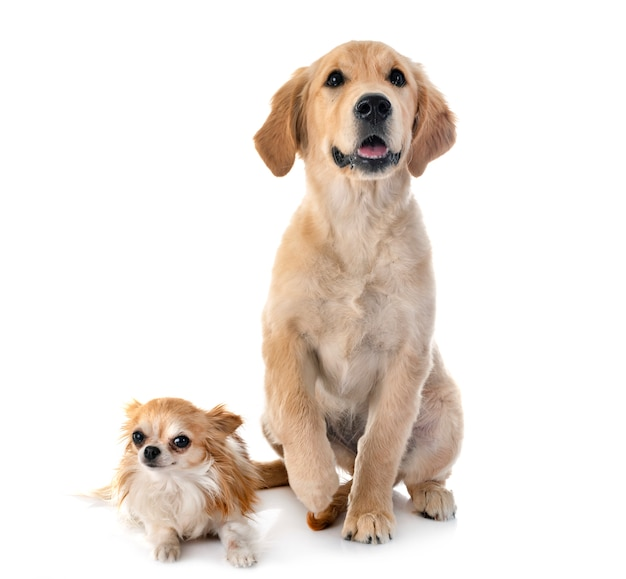 Puppy golden retriever and chihuahua