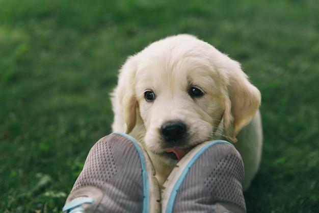 Puppy golden retriever pup licks sneakers outdoors