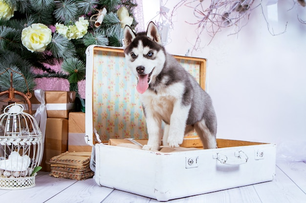 A puppy of husky with black and white color and blue eyes stands on a suitcase near a christmas tree