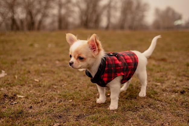 Щенок в саду. белый щенок чихуахуа в одежде. собака. белый щенок весной