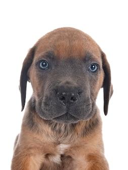 白い背景の前に子犬イタリアンマスチフ