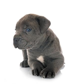 前の子犬イタリアンマスチフ
