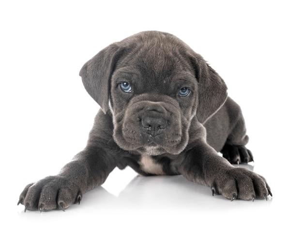 白で隔離の子犬イタリアンマスチフ