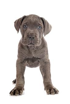 分離された子犬イタリアンマスチフ