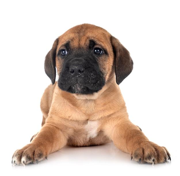 子犬イタリアン・マスティフ