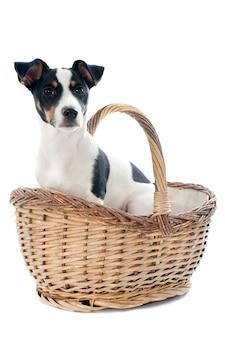 Puppy jack russel terrier inside a basket