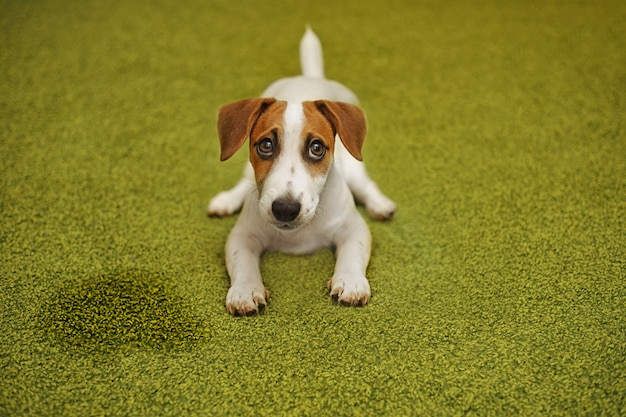 Puppy jack russell terrier lying on a carpet