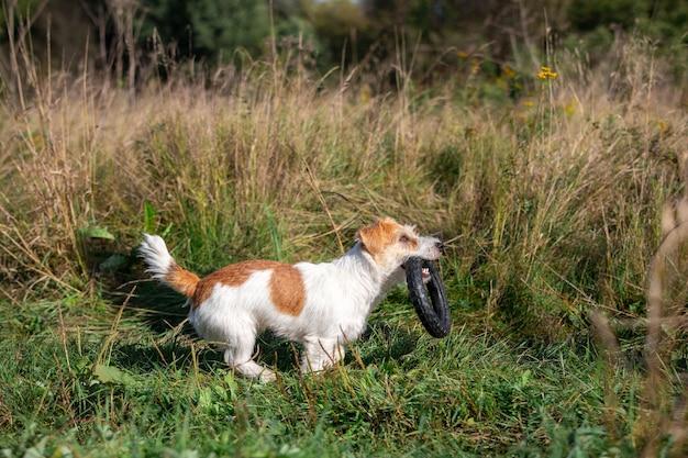 강아지 잭 러셀 테리어가 놀기 위해 입에 고무 링을 끼고 있습니다.