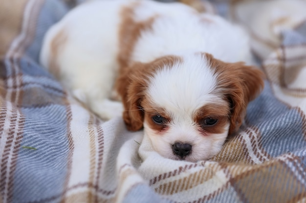 Puppy king charles spaniel on a blanket on the grass in the hot summer