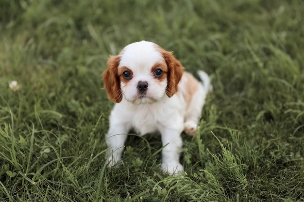Puppy king charles spaniel sits on the grass in the hot summer