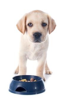 Puppy labrador retriever eating