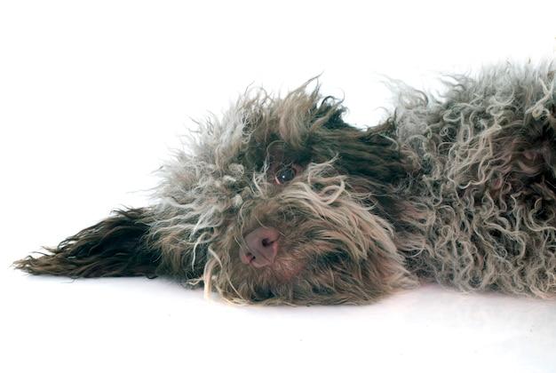 Puppy lagotto romagnolo