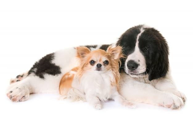 Puppy landseer and chihuahua