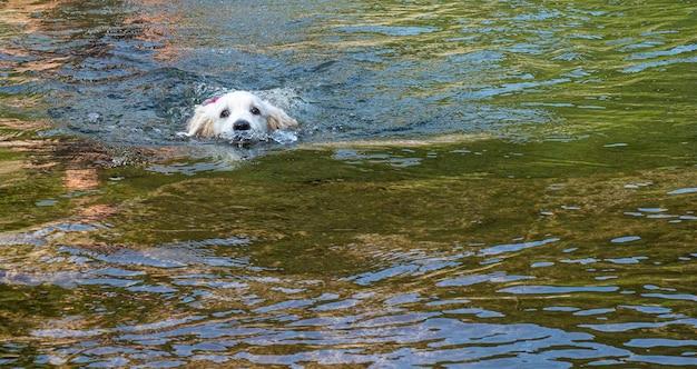 ラグーンで一人で泳ぐことを学ぶ子犬。湖で一人で泳ぐ白い子犬。