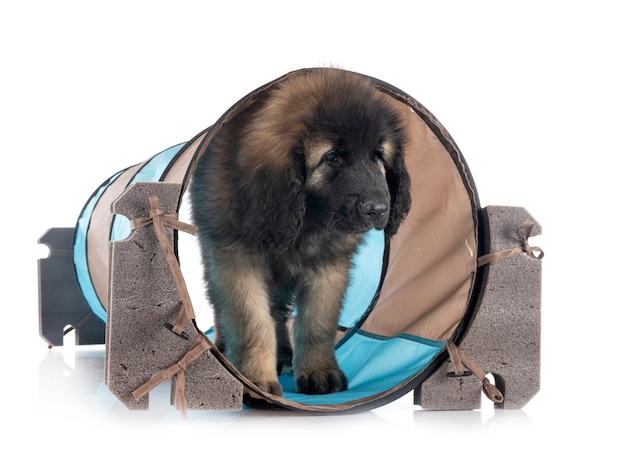 Puppy leonberger in front of white background