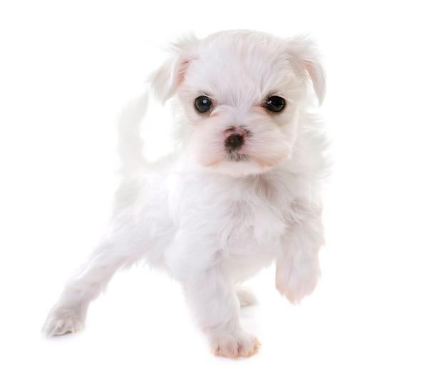Щенок мальтийской собаки