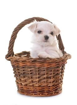Puppy maltese dog