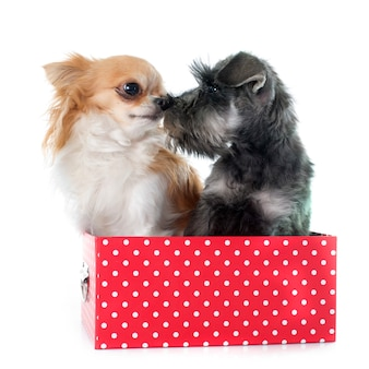 Puppy miniature schnauzer and chihuahua dog