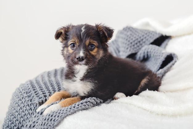 子犬は家で一人で飼い主を恋しく思います。ベッドの毛布の上に横たわっているおもちゃのテリアの子犬。犬は自宅のソファに横になってカメラを見ています。居心地の良い家で休んでいる肖像画かわいい若い小さな黒い犬。白灰色の背景。