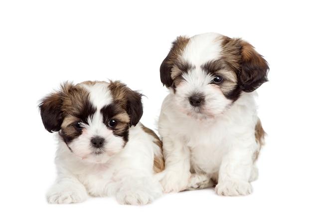 シーズーとマルチーズ犬の間に7週間の子犬混合品種犬。分離された犬の肖像画