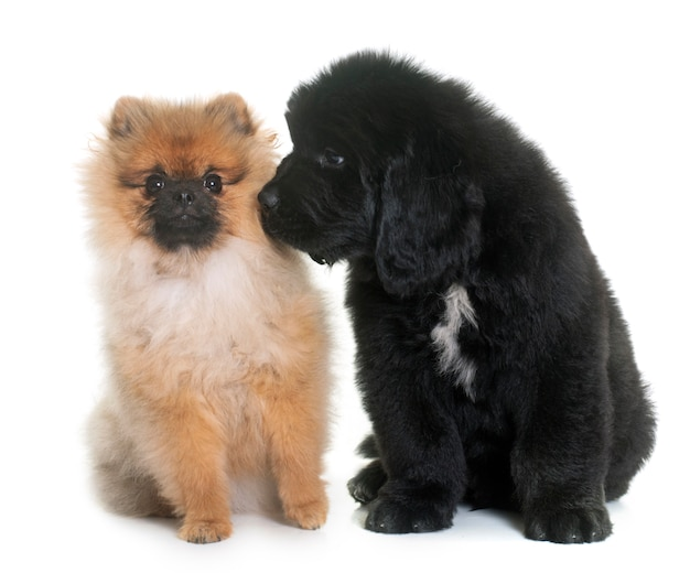 Puppy newfoundland dog and spitz