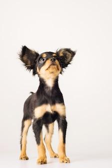 ロシアのおもちゃのテリアの子犬